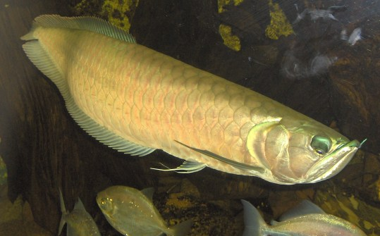 A large, golden-tinged arowana, showing its chin barbels and large mouth.