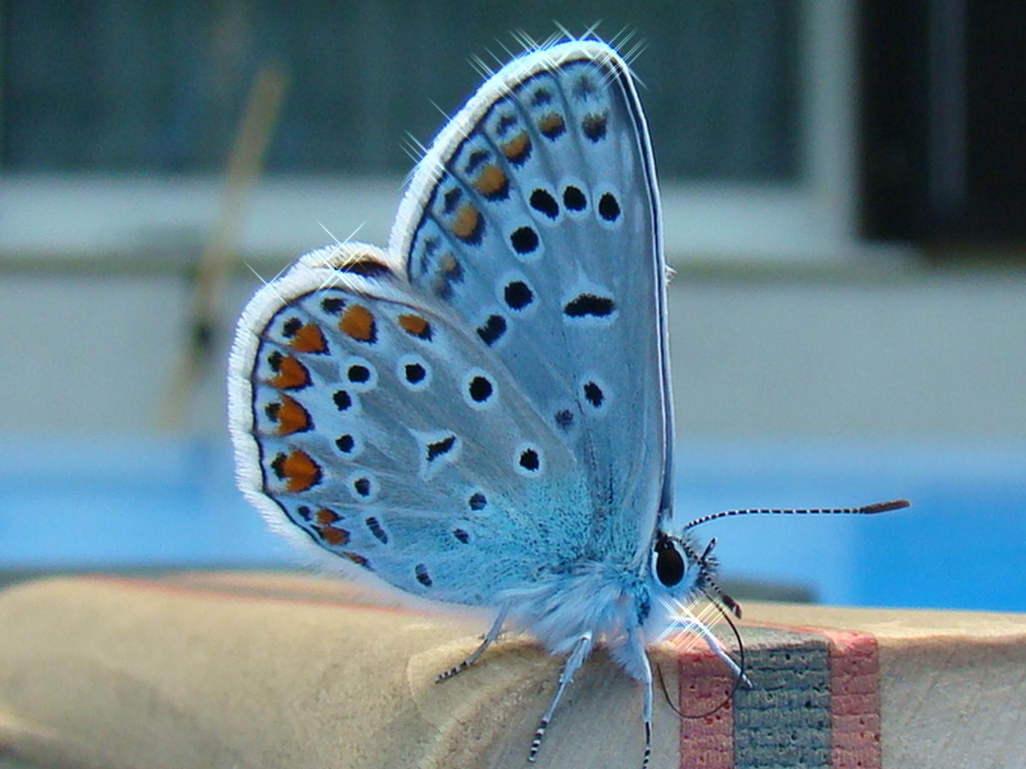 https://i1.wp.com/upload.wikimedia.org/wikipedia/commons/c/c0/Beautiful_butterfly.jpg