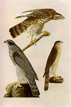 Illustration of Accipiter cooperi by John Jame...