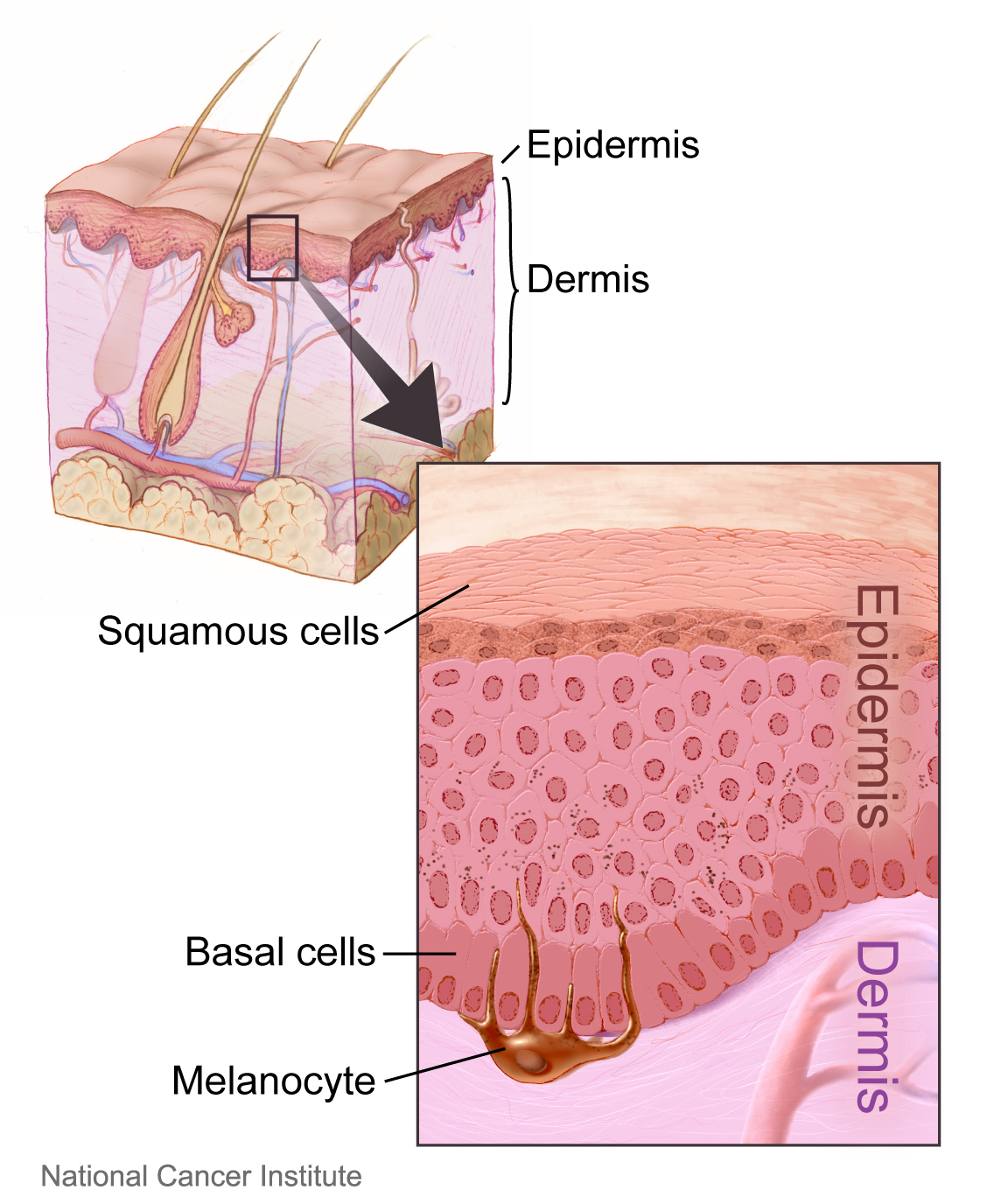 File Layers Of The Skin