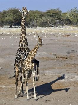 girafe - reproduction