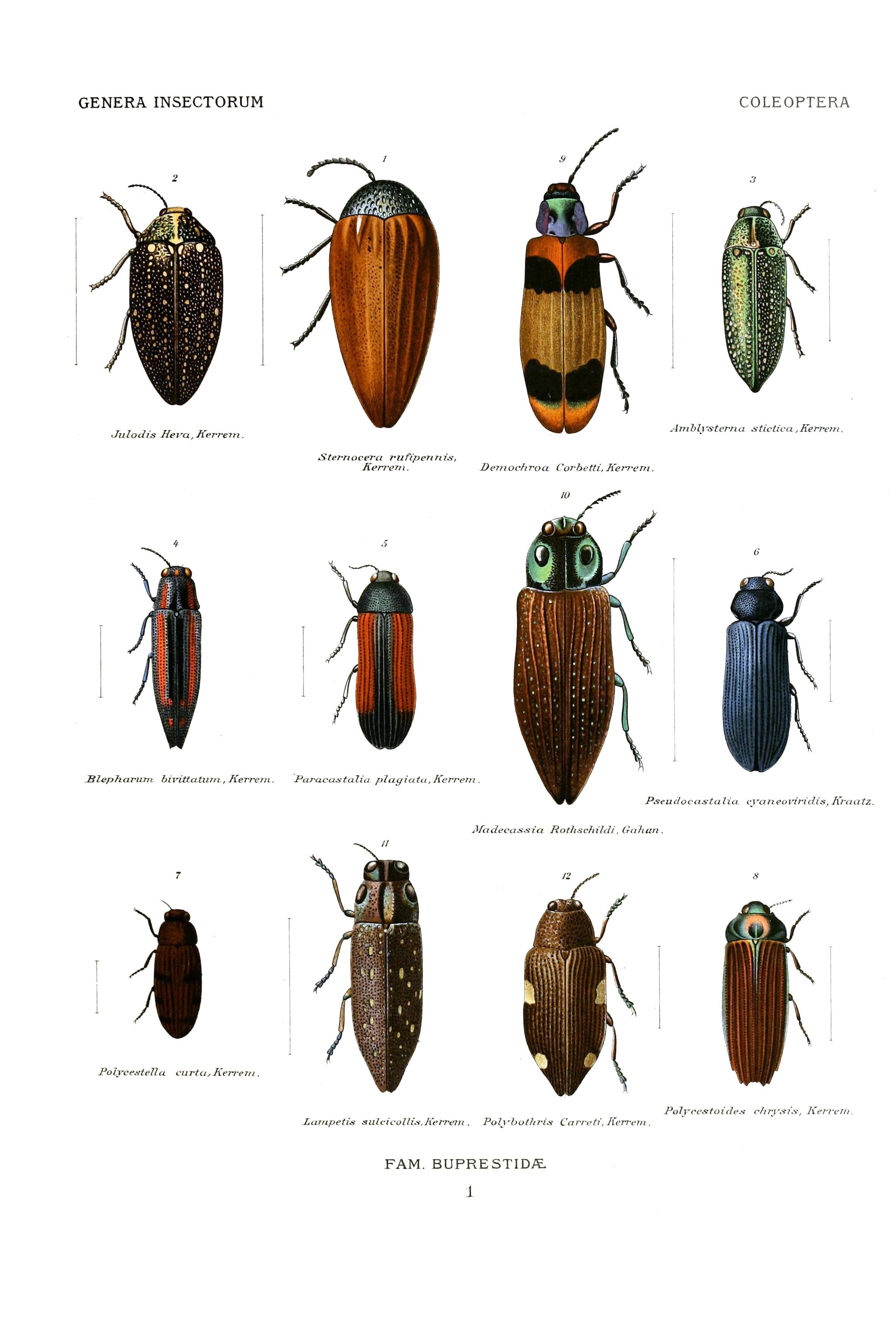 File Wytsmannerasectorum Buprestidae 01