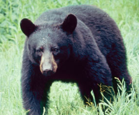 English: Black Bear in the Great Smokey Mountains