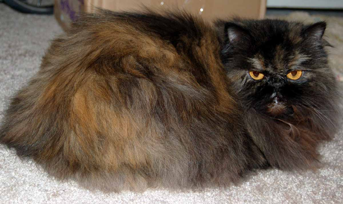 Black Himalayan Persian Cat