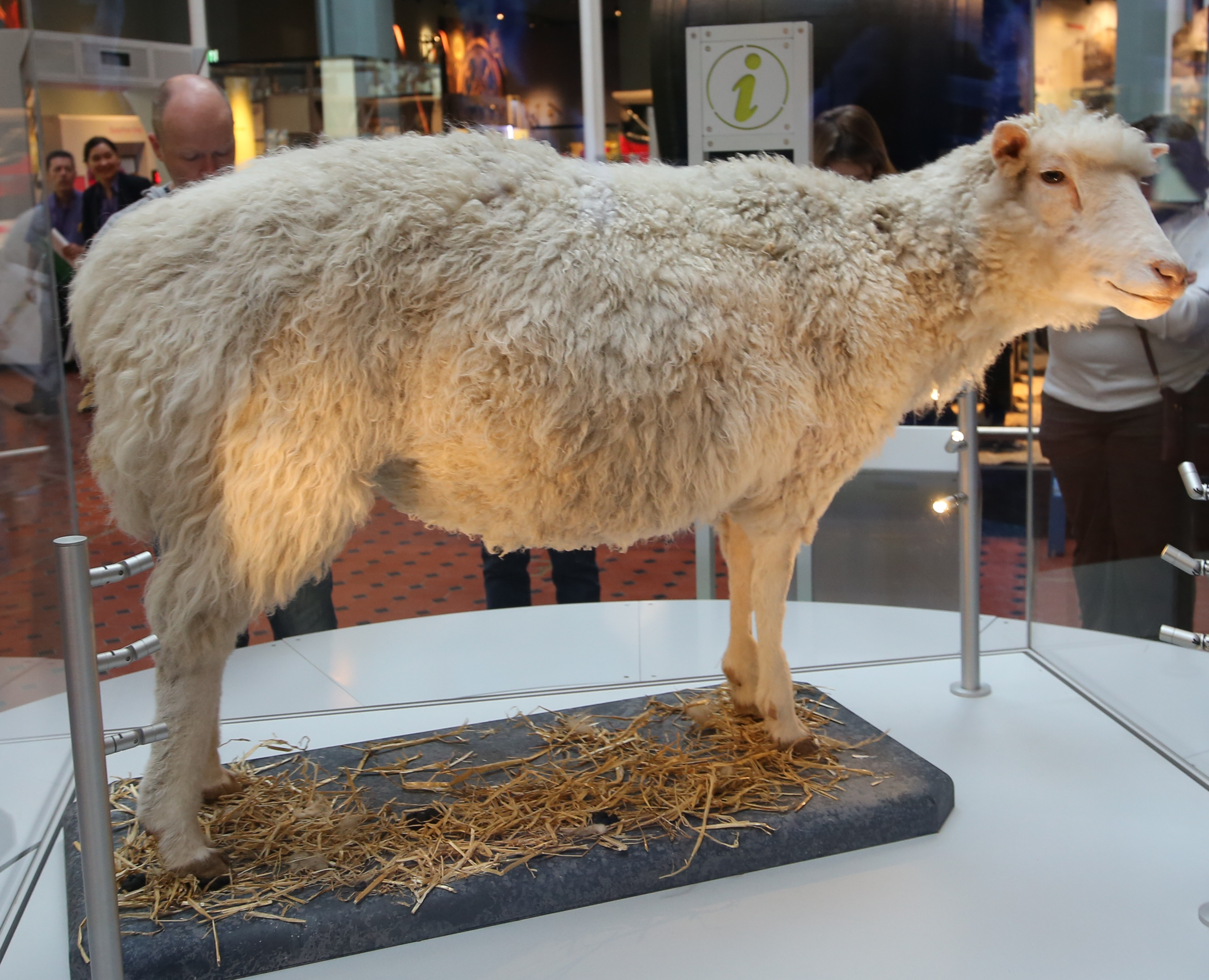 File Dolly The Sheep