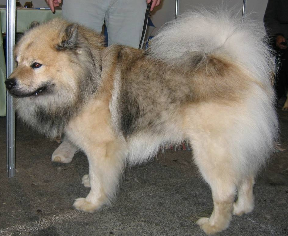 Eurasier Image 001 Puppies For Sale In Md