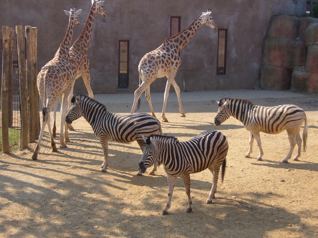 File Giraffes And Zebras Kerkrade Zoo 01