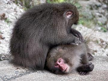 File:Yakusaru monkey.JPG