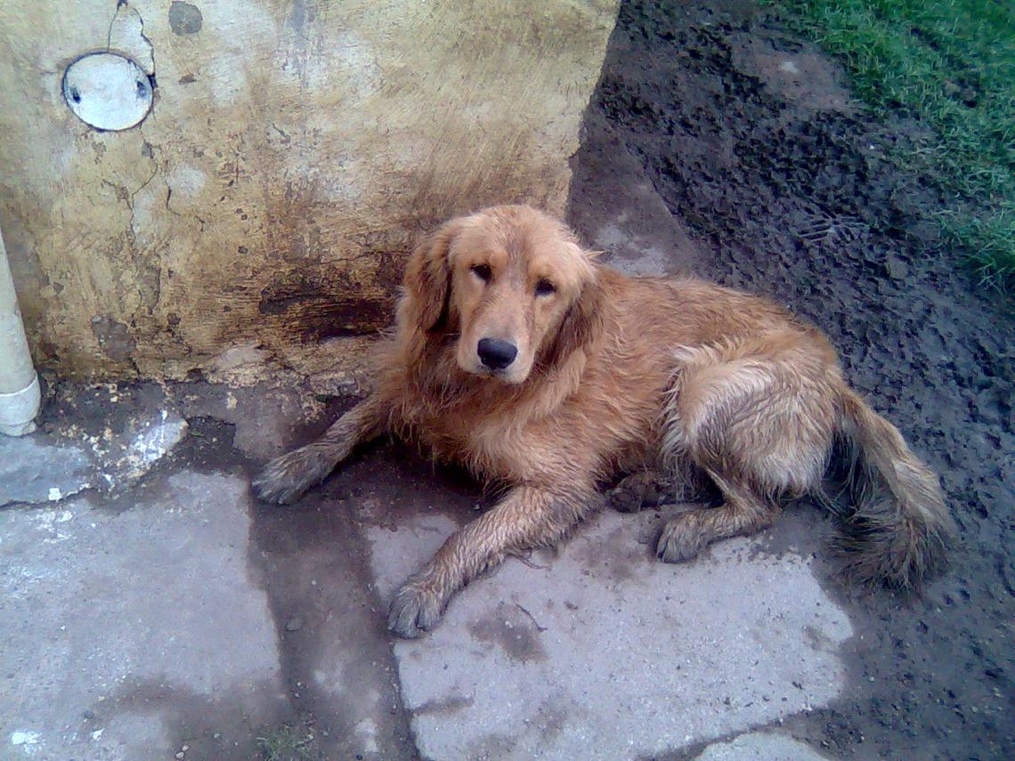 Golden retriever dirty Dogs Similar To Pitbulls