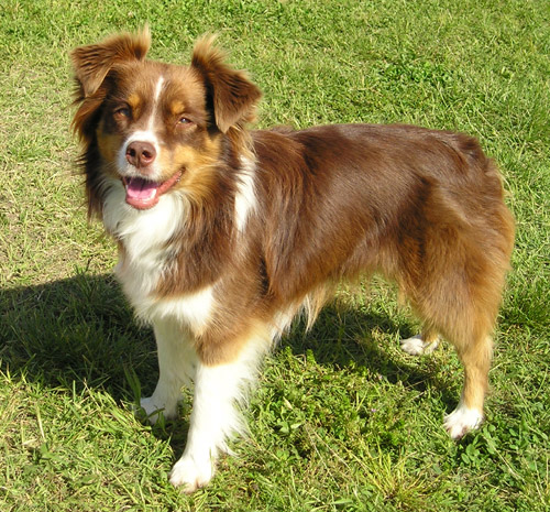 https://i1.wp.com/upload.wikimedia.org/wikipedia/commons/c/c7/Miniature_Australian_Shepherd_red_tricolour.jpg