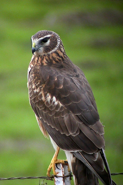 Northern (Hen) Harrier.jpg