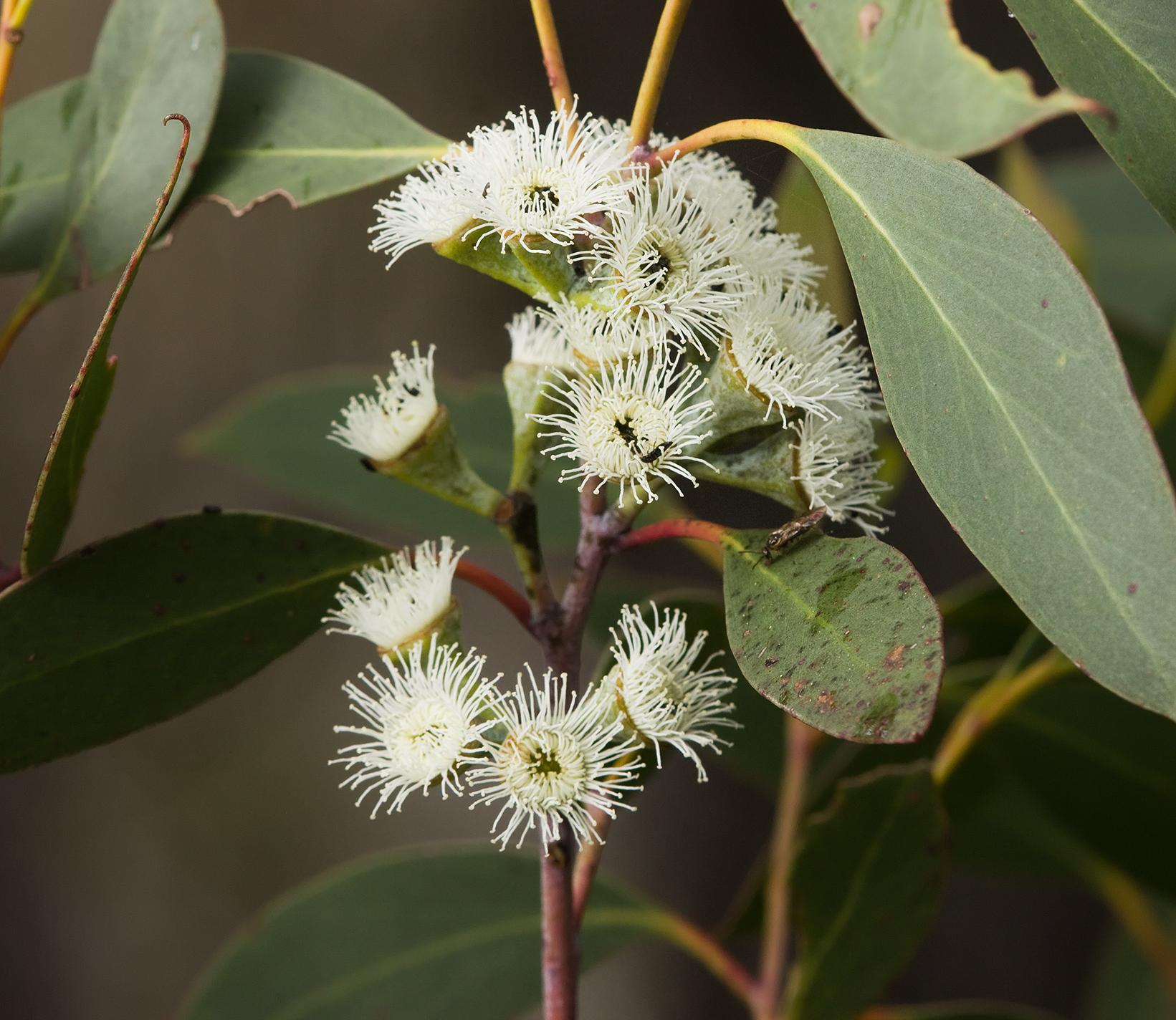 Image result for eucalyptus pauciflora