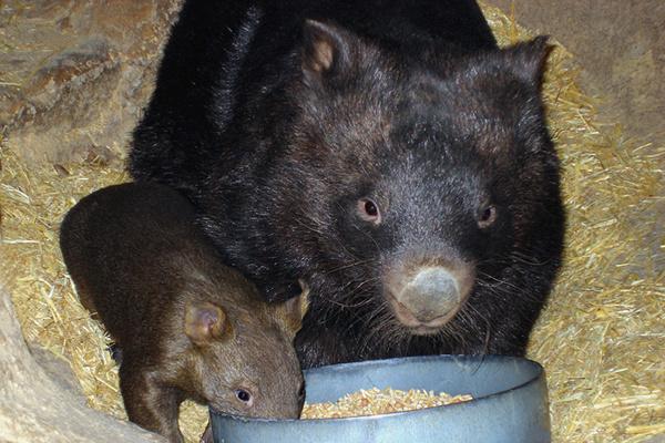A235, Ballarat Wildlife Park, Ballarat, Australia, wombats, 2007.JPG