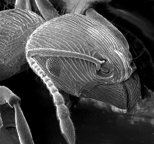 Ant's Head