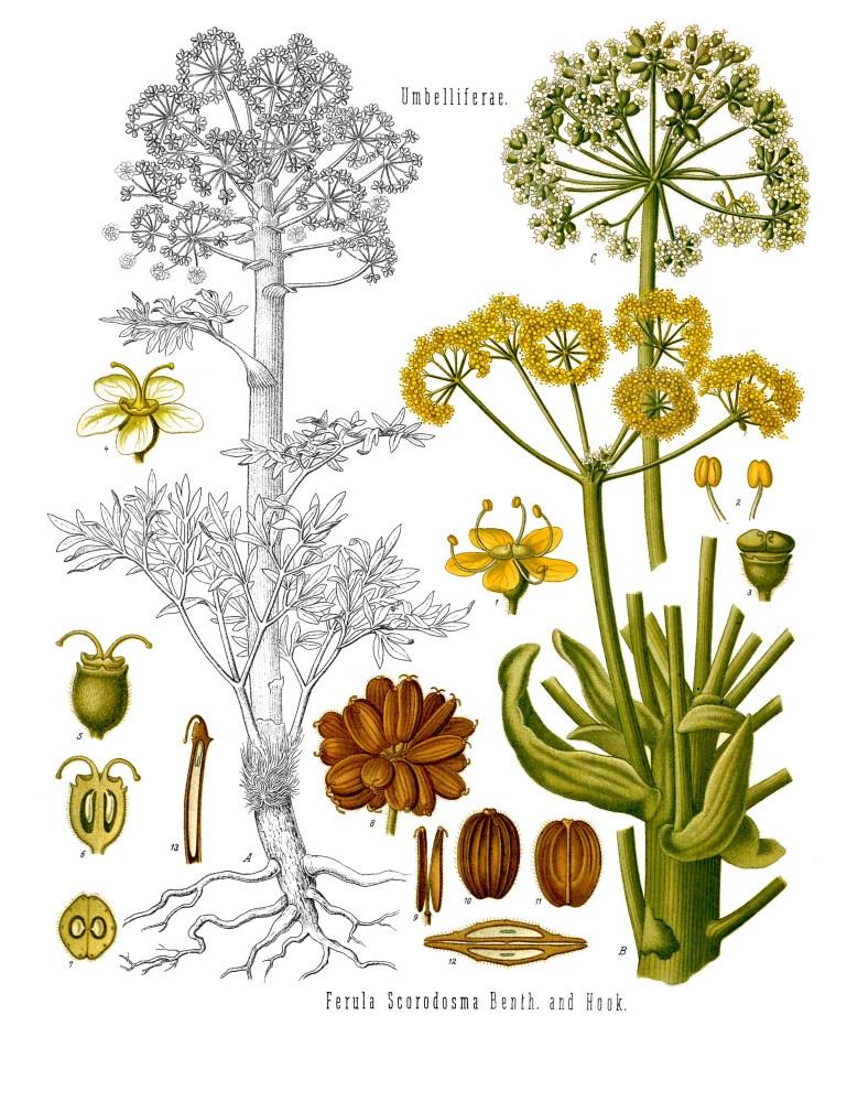 Assafétida, Esterco-do-diabo (Ferula assafoetida)