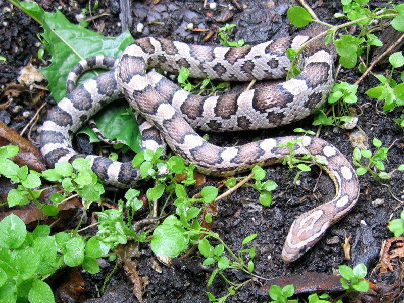 An anerythristic corn snake (Source: Wikipedia)