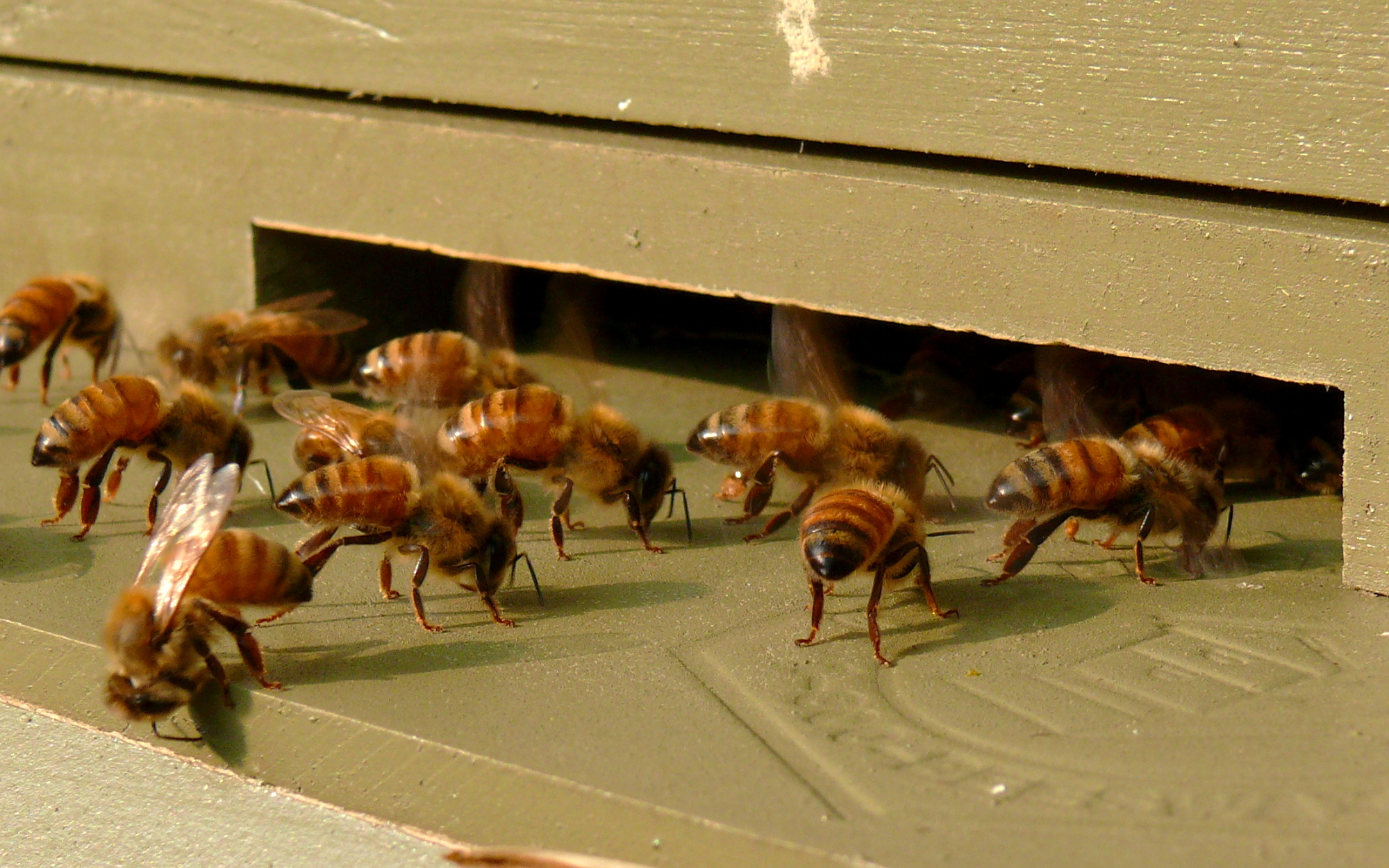A group of Italian honeybee (Apis mellifera li...