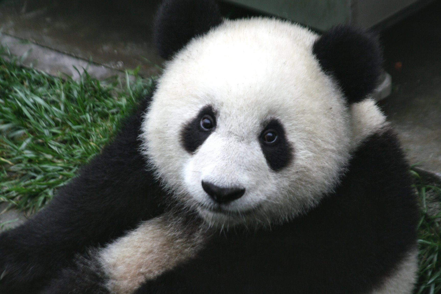 Facts About Pandas | Interesting Facts for Kids