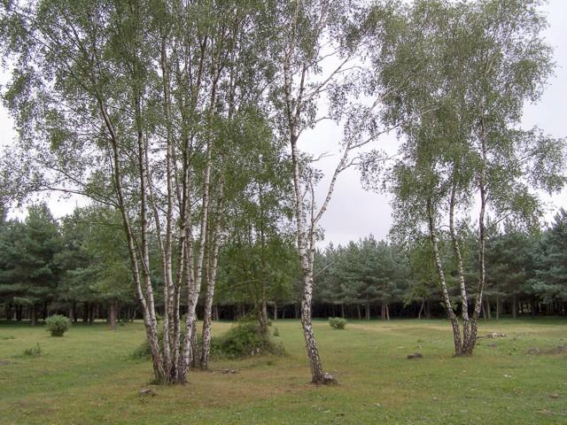 Silver birch on Copythorne Common - geograph.org.uk - 207628