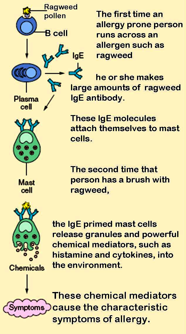 allergic reaction ragweed process info graphic mast cells histamine