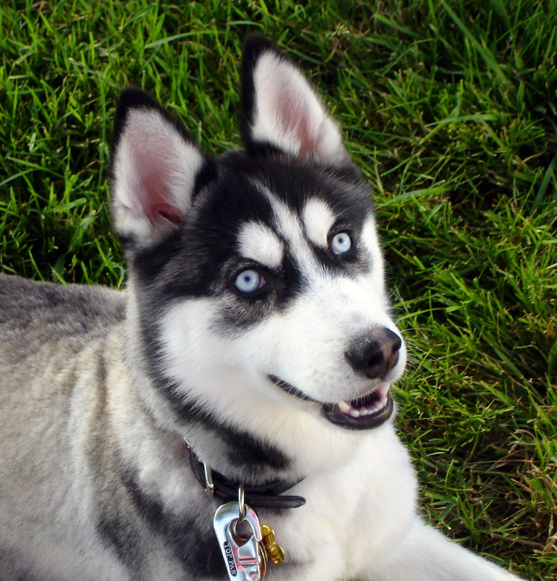 Siberian Husky blue eyes Flickr Pitbull Dog Lifespan