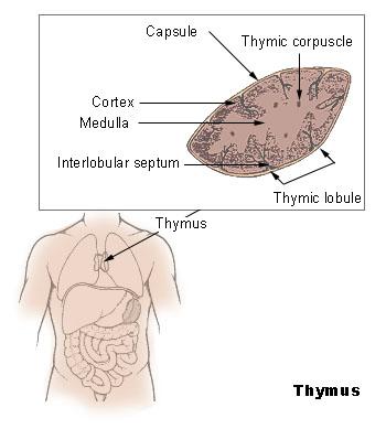 File:Illu thymus.jpg