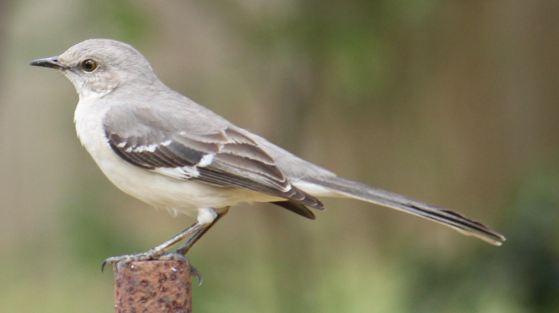 Northern Mockingbird Images