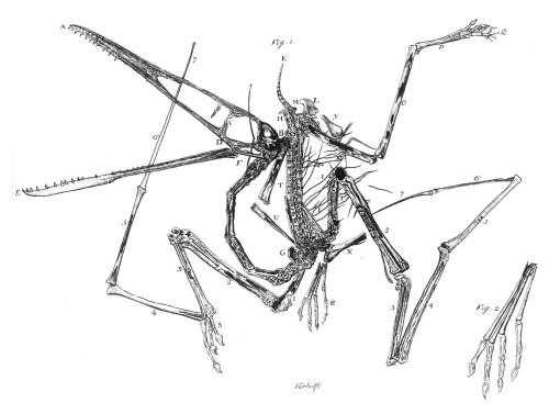 https://i1.wp.com/upload.wikimedia.org/wikipedia/commons/c/cf/Pterodactylus_holotype_Collini_1784.jpg?resize=500%2C377