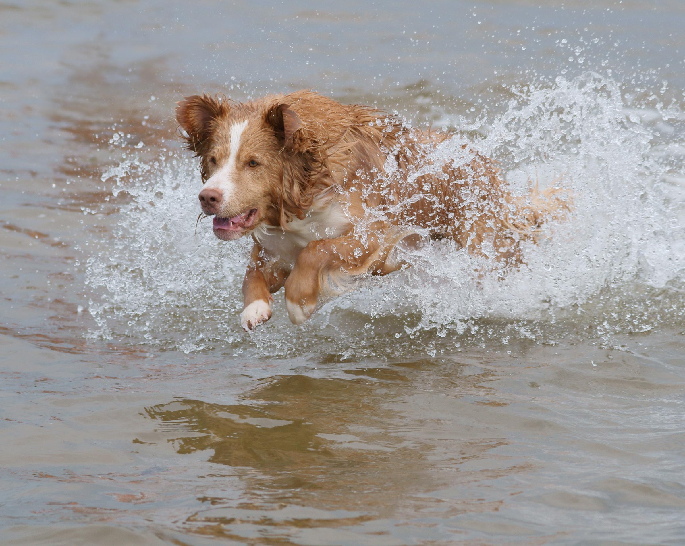 English: Dog looking for his ball. Suomi: Koir...