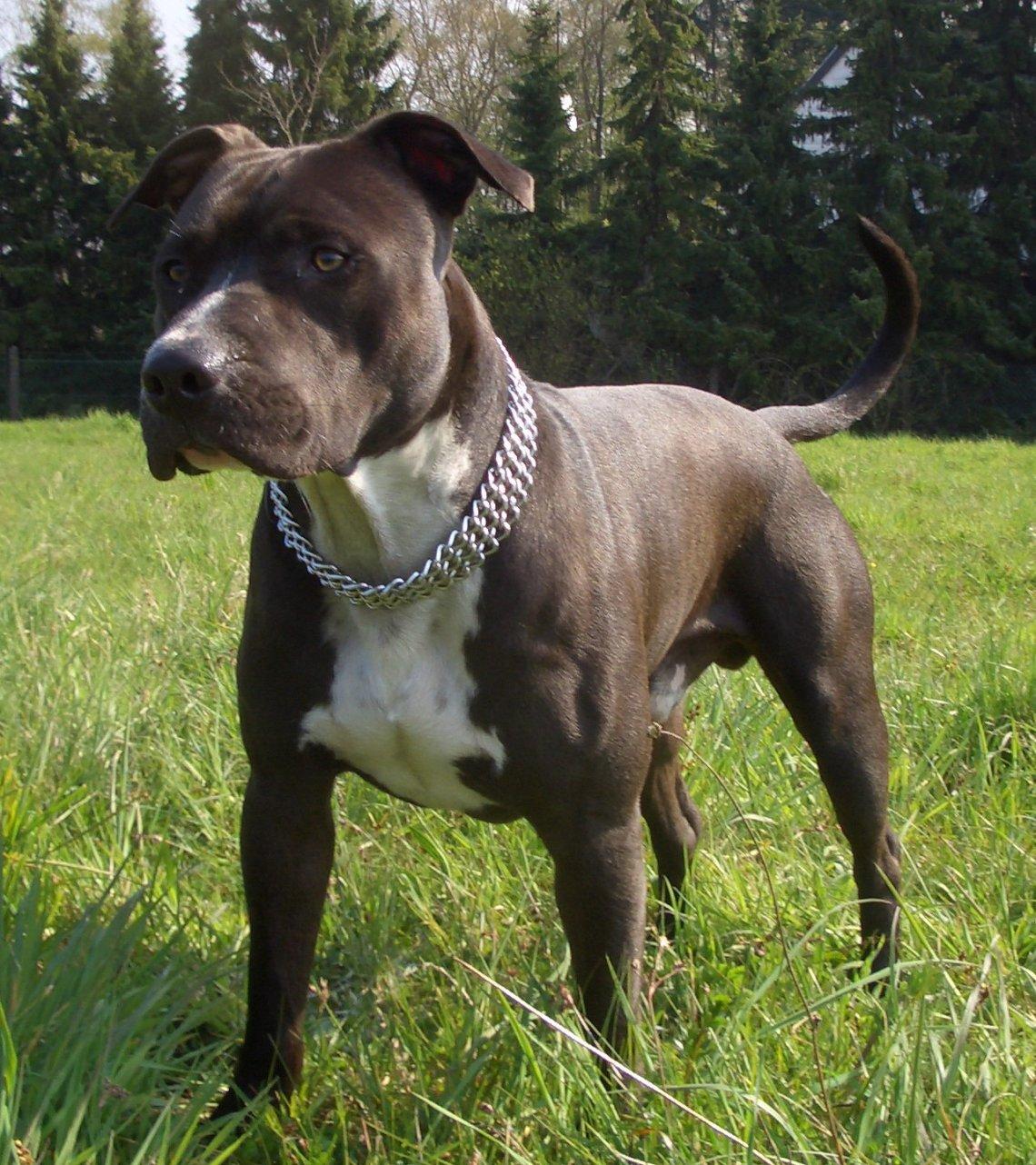 AmStaff3 Beautiful Pitbull Dogs