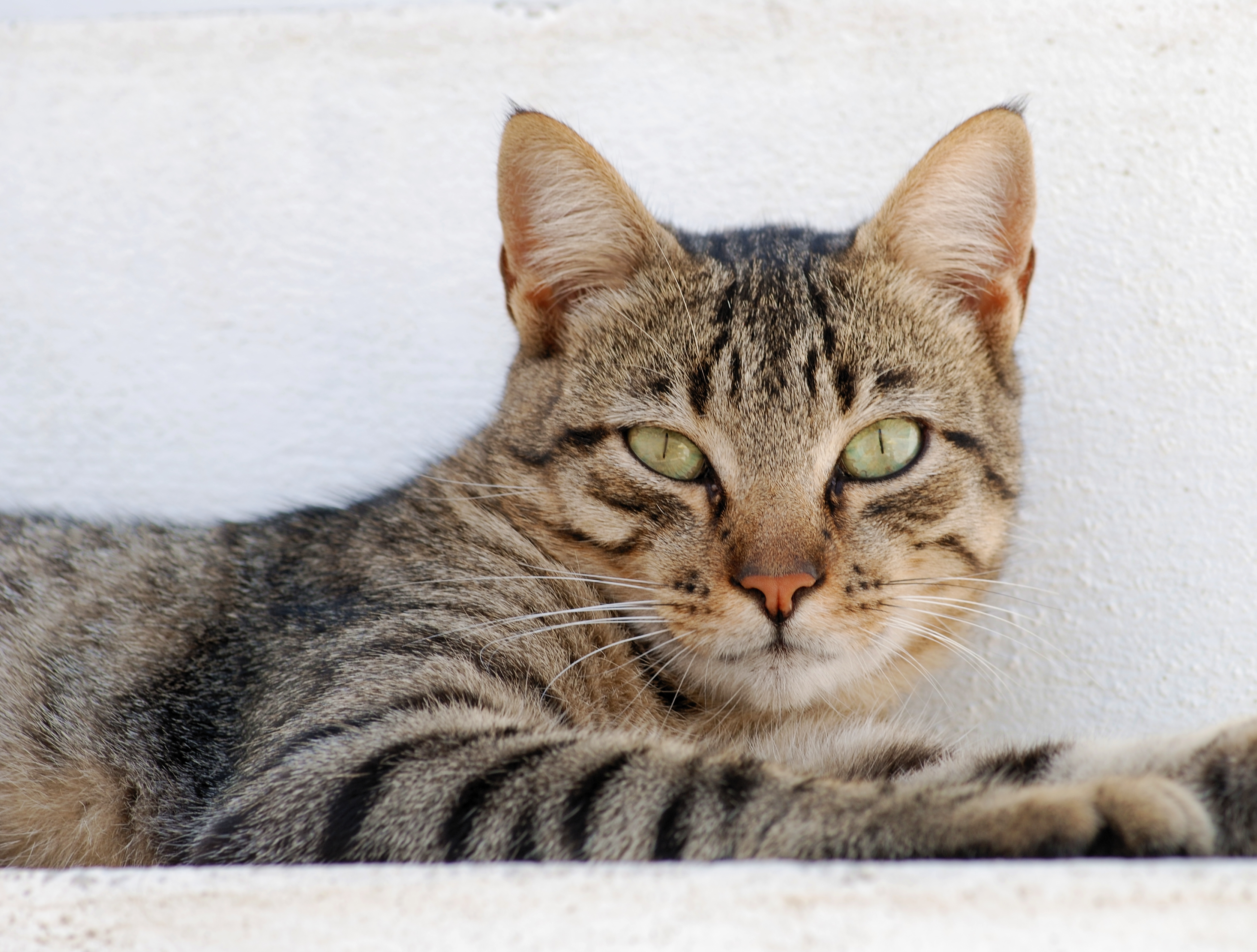 Portrait of a male tabby cat