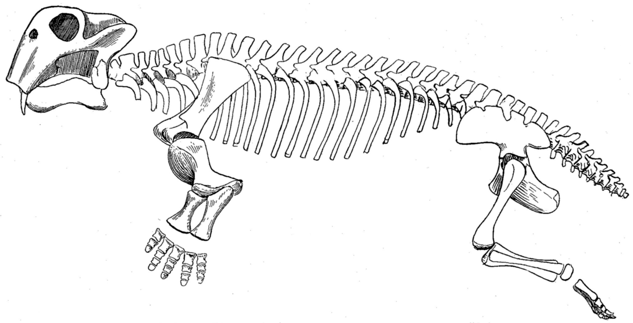 File Lystrosaurus Skeleton