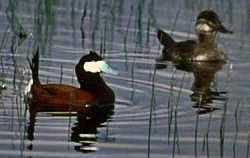 Ruddy duck pair (Oxyura jamaicensis)