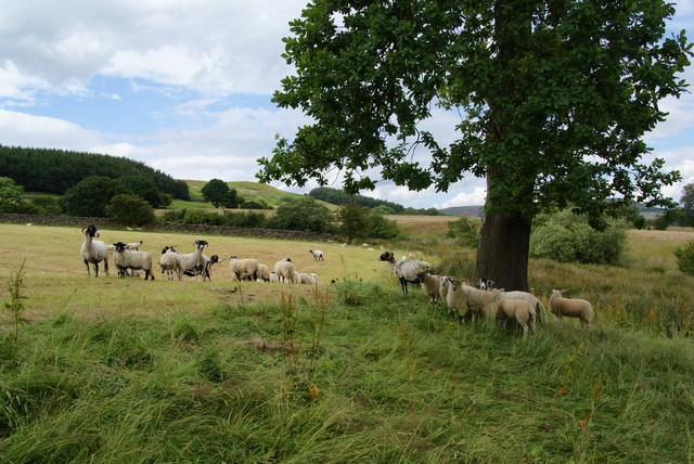 English: Sheep in a field