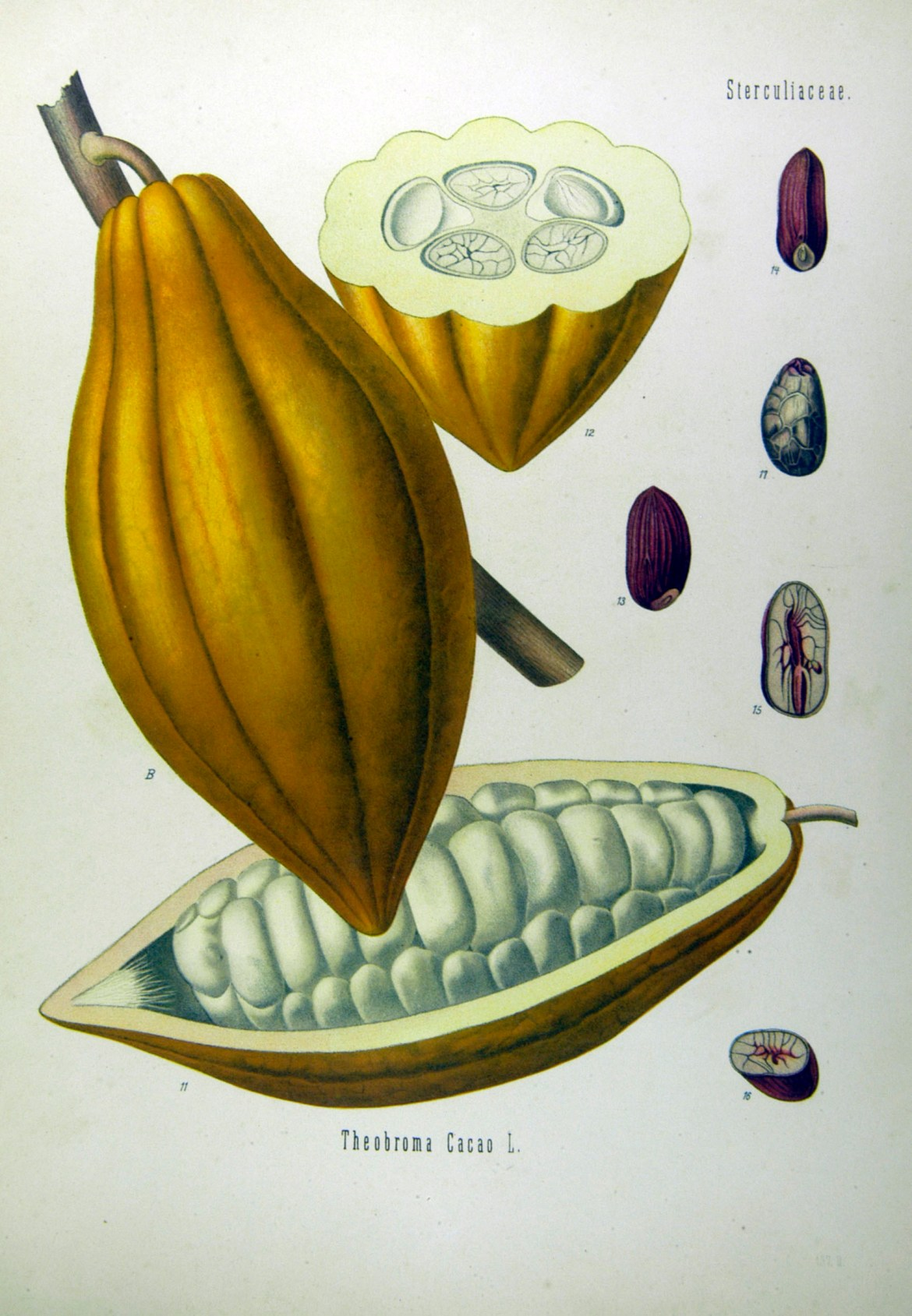Kakao by Franz Eugen Köhler, Köhler's Medizinal-Pflanzen [Public domain], via Wikimedia Commons