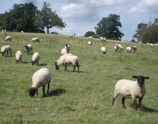 Sheep herd at The Weir