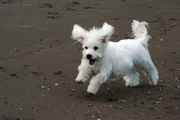 https://i1.wp.com/upload.wikimedia.org/wikipedia/commons/d/d6/Bichon_running.jpg?w=604&ssl=1