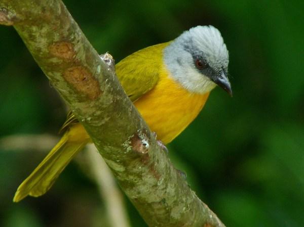 File:Eucometis penicillata -Manizales, Caldas, Colombia-8 ...