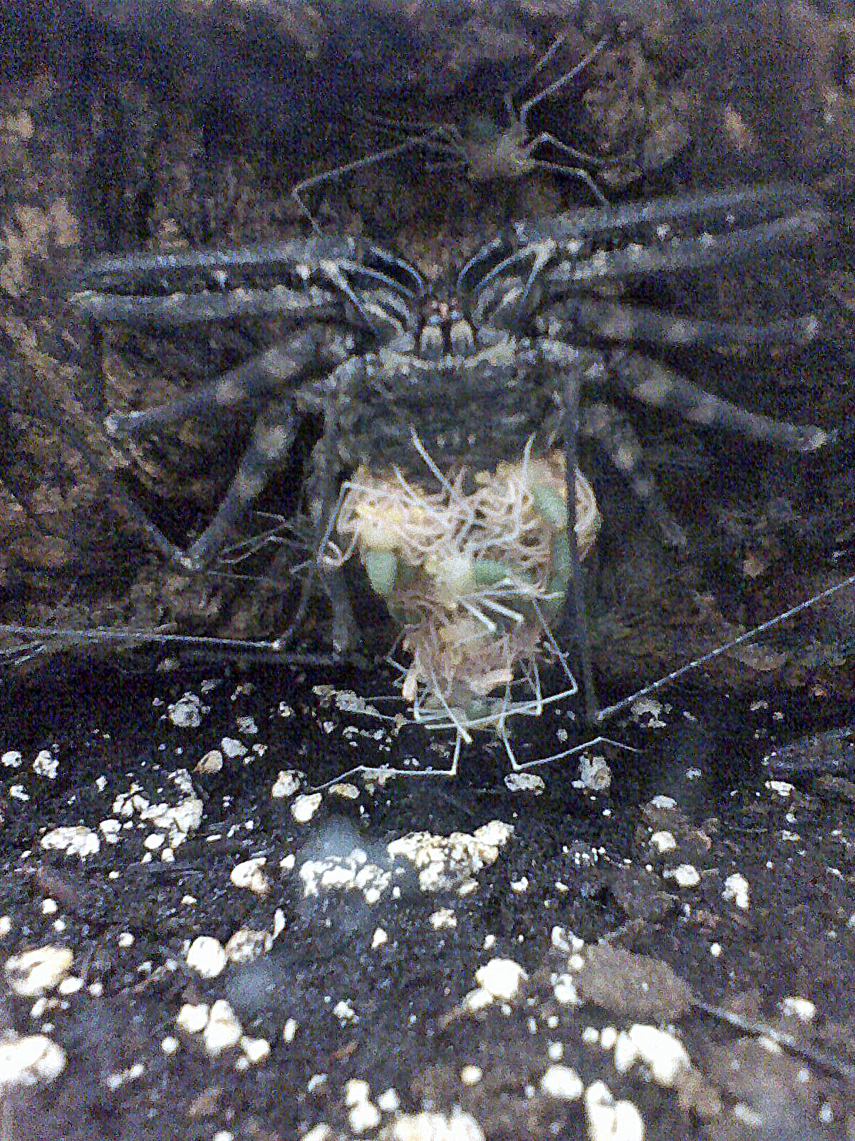 damon diadema, amblypygi, tarantula, spider