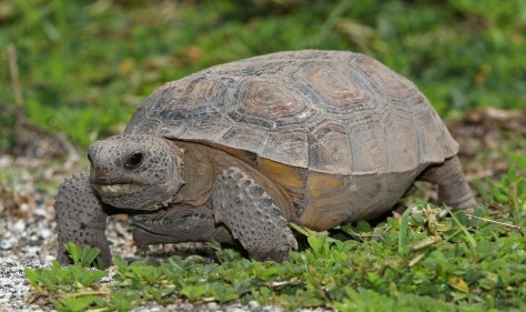 Gopherschildkröte