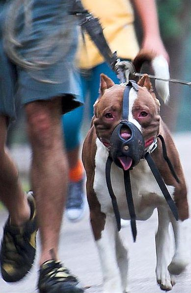 A muzzled Pit Bull