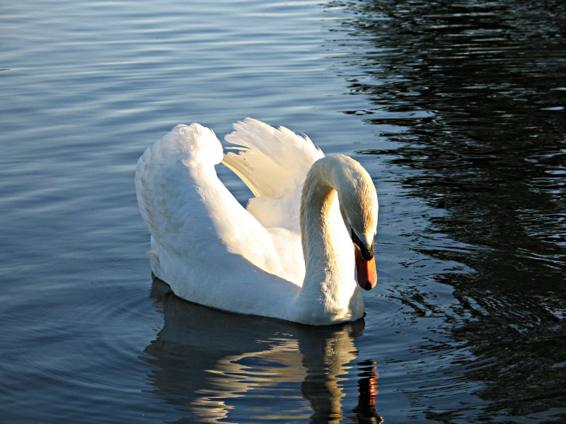 File:Swan In Water.jpg