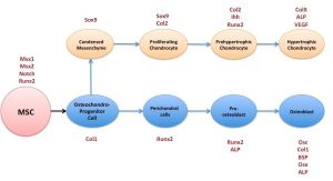 File:MSC diagram into osteoblast and chondrocyte cell