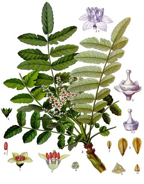Boswellia