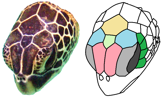 File:Chelonia mydas head scutes.png