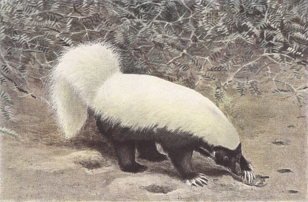 File:Hog-nosed-skunk.png