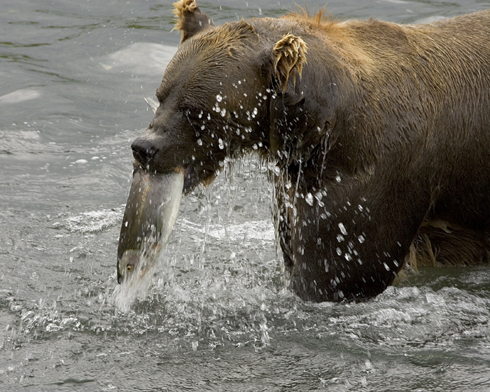 Brown bear (Ursus arctos) feeding on salmon, t...