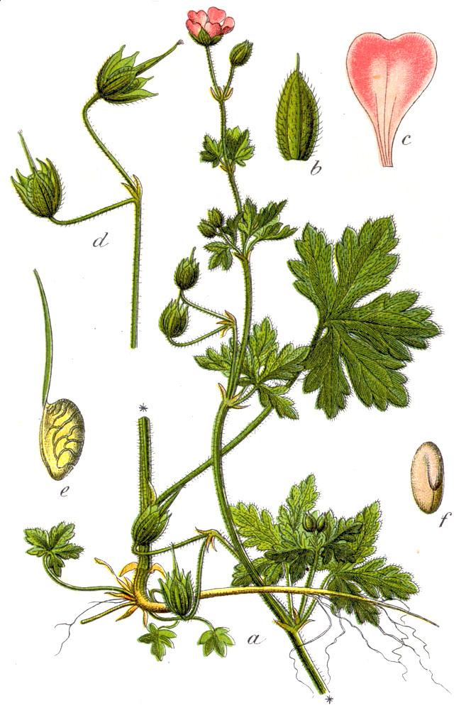 Geranium Divaricatum Wikispecies