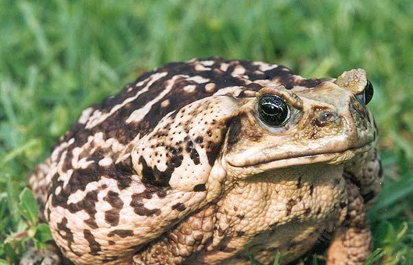 File:Cane-toad.jpg