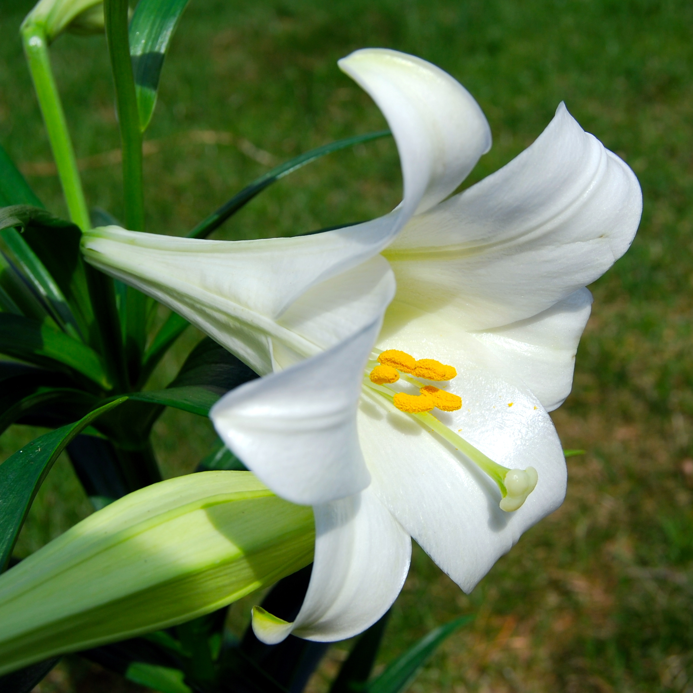 Lilies beautiful but deadly the easter lily is the best known culprit but also the tiger lily japanese show lily rubrum lily numerous hybrids and day lilies have been associated izmirmasajfo
